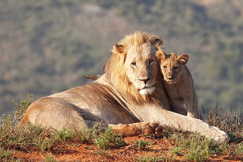Τρυφερός και υποστηρικτικός λιονταρομπαμπάς. Φωτό: melissaschalke, flickr